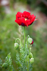 Opium poppy.  Papaver somniferum