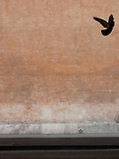 Bird in flight against coloured wall. Rome, Italy.