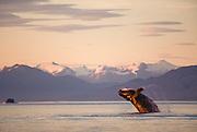 Alaska. Stephens Passage. Humpback whale (Megaptera novaeangliae) breaching.