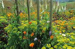 The cutting garden with sweet pea arch in the foreground, Eschscholzia californica ( Californian poppy ), Atriplex hortensis, Euphorbia oblongata and foxgloves