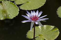 Water Lily, Purple #22
