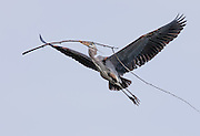 It's nest building time for the Great Blue Heron at Lake Murray.