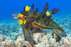 green sea turtle, Chelonia mydas, being cleaned by yellow tang, Zebrasoma flavescens, and gold-ring surgeonfish, Ctenochaetus strigosus, (endemic to Hawaii), Kona, Big Island, Hawaii, Pacific Ocean