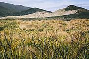 New Zealand flax (Phormium tenax) next to Big Sandhill, The Southern Circuit, Stewart Island / Rakiura, New Zealand Ⓒ Davis Ulands | davisulands.com