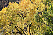 An autumn colored Black Cottonwood (Populus deltoides) on Bureau of Land Management public land in the East Salt Creek valley, Colorado, USA