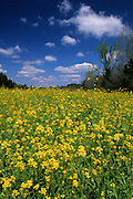 Mustard Greens grow on a farm on a sunny, blue sky, puffy white cloud day - Mississippi