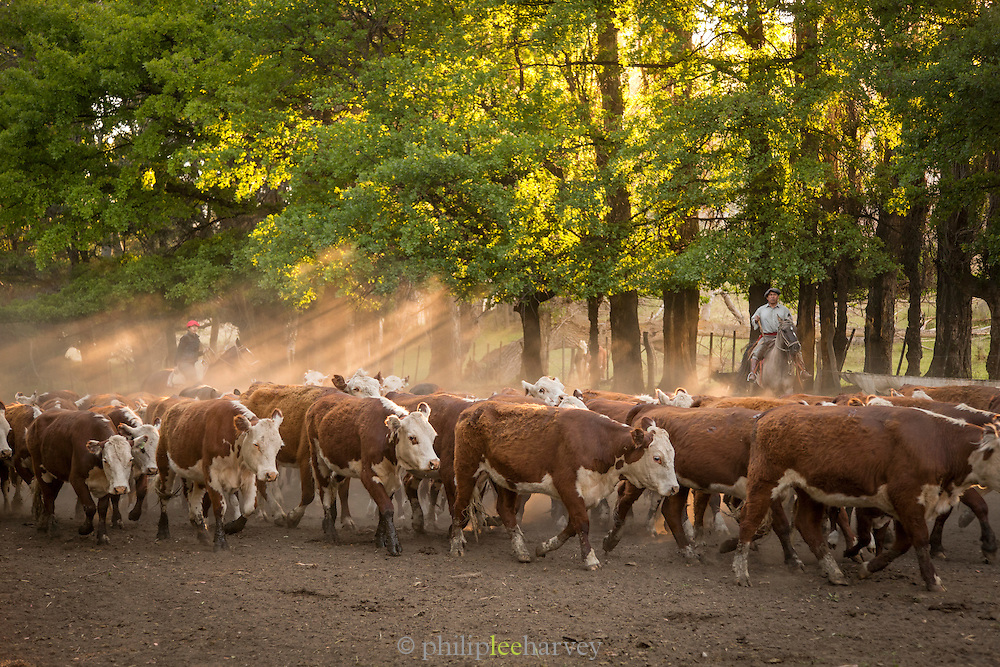 Sun breaking through the trees as Gauchos herd Hereford cattle, Estancia Huechahue, Patagonia, Argentina, South America