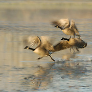 Canada Goose (Branta canadensis) trio taking flight. Autumn in Yellowstone National Park