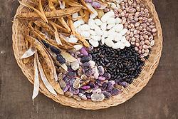 Shelled beans ready for drying. Includes Borlotti, Slovenian, Cherokee Black and Padua.