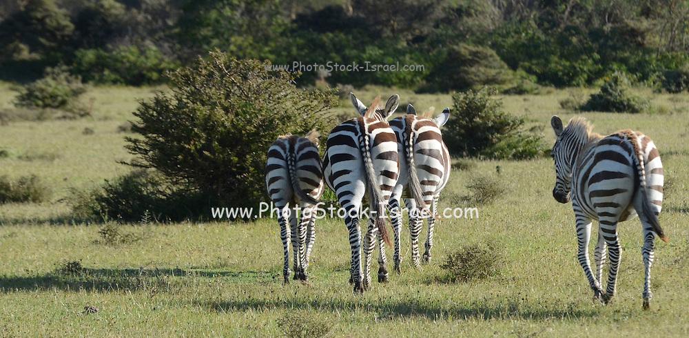 A heard of Zebras at Lake Naivasha, Kenya