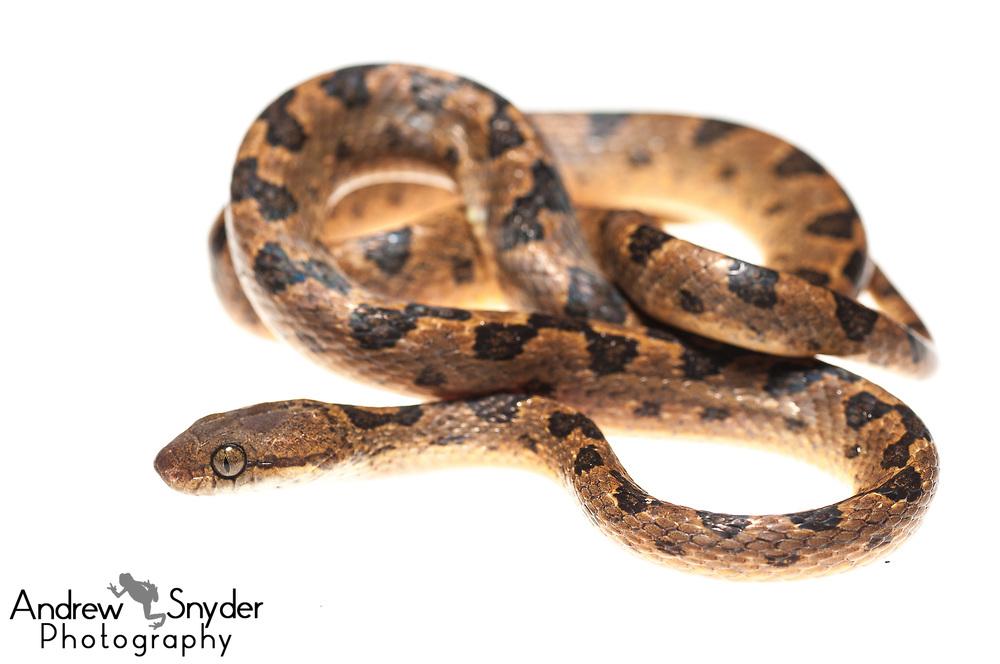 Cat-eyed snake, Leptodeira annulata, Surama, Guyana, July 2013