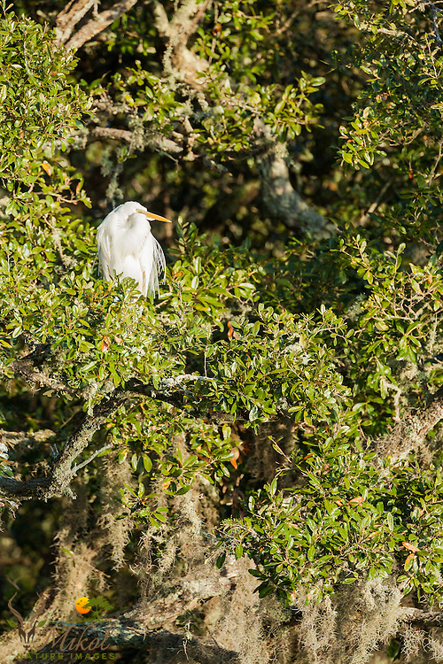 Great Egret Perched in Live Oak