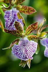 Zygopetalum orchid - Zygopetalum 'Adelaide Parklands'