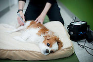 September 28th, 2011. Los Angeles, California. Canine rehab facility Two Hands Four Paws offers treatments like acupuncture, massage, and swim therapy for dogs. Pictured is Liza the Cavalier King Charles receiving laser therapy..© JOHN CHAPPLE / www.johnchapple.com