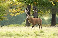 Red Deer in atumnal colours, Cervus elaphus, Cheshire, October