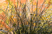 Sedge (Carex sp.)  on the Proscansko lake bank, Upper Lakes, Plitvice National Park, Croatia