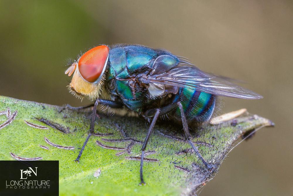 Chrysomya rufifacies - Hairy maggot blow fly