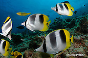 Pacific double-saddle butterflyfish, Chaetodon ulietensis, <br /> and sunset wrasse, Thalassoma lutescens, Shark Reef Marine Reserve, Beqa Passage, Viti Levu, Fiji ( South Pacific Ocean )