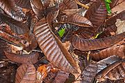 Leaves on Rainforest Floor, Nosy Mangabe National Park, Madagascar, damp after rain,