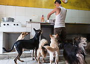 A group of dogs wait anxiously as their caretaker Enrique prepares a meal. Aniplant, Cuba.
