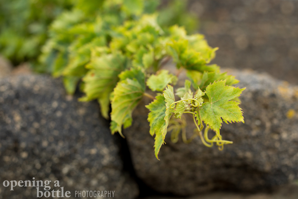 New growth of grapevines resting on a stone wall on Pantelleria Island, Sicily, Italy.