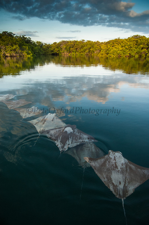 Golden Cownose Rays (Rhinoptera steindachneri)<br /> Santa Cruz Island, GALAPAGOS ISLANDS<br /> ECUADOR.  South America<br /> RANGE: n Peru to Baja<br /> Inhabit protected lagoons and mangrove areas.