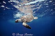loggerhead turtle juvenile, Caretta caretta, Biscayne National Park, Miami, Florida ( Western Atlantic Ocean )