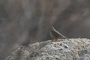 Photograph of  a Canyon Towheefrom the Amerind Museum area, AZ