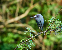 Little Blue Heron perched on a branch in Big Cypress Swamp. Image taken with a Nikon Df camera and 400 mm f2.8 lens (ISO 800, 400 mm, f/4, 1/200 sec).