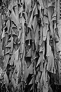 View of dried leaves on a tree in Playa del Carmen on the Yucatan Peninsula in Mexico (1984)