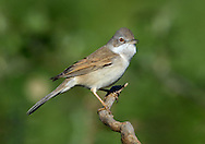 Whitethroat Sylvia communis L 13-15cm. Familiar warbler of open country. Males often perch openly. Sexes are dissimilar. Adult male has blue-grey cap and face, grey-brown back and rufous edges to wing feathers. Throat is white while; underparts otherwise pale, suffused pinkish buff on breast. Legs are yellowish brown and yellowish bill is dark-tipped. Dark tail has white outer feathers. Adult female and juveniles are similar but cap and face are brownish and pale underparts (apart from white throat) are suffused pale buff. Voice Utters a harsh check alarm call. Song is a rapid and scratchy warble. Status Common summer visitor to scrub patches, hedgerows and heaths.
