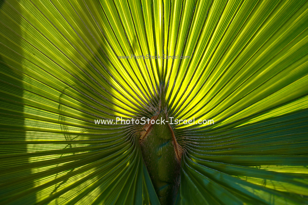 Palm leaf. Close-up of the leaf of a California fan palm (Washingtonia filifera), showing the many green fronds. This palm is native to the desert oases of California and Arizona, in the USA. It will easily reach over 15 metres in height when well-watered, growing over 30 centimetres per year.