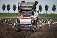 Avenhorn - Bij het Noordhollandse Avenhorn gaan de tulpenbollen de grond in en de meeuwen volgen dit . ANP COPYRIGHT KOEN SUYK