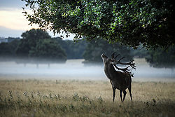 © Licensed to London News Pictures. 01/09/2019. London, UK. Deer grazing in a mist covered landscape at first light in Richmond Park on the first day of meteorological autumn. Photo credit: Ben Cawthra/LNP