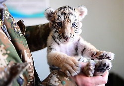 February 5, 2018 - Shenyang, Shenyang, China - An adorable Siberian tiger cub can be seen at a tiger park in Shenyang, northeast China's Liaoning Province. (Credit Image: © SIPA Asia via ZUMA Wire)