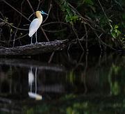 Capped Heron (Pilherodius pileatus) on the banks of Cristalino River, southern Amazon, Brazil.