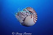 chambered nautilus, Nautilus pompilius, Borneo, Malaysia ( Celebes Sea )