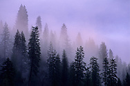 Clearing storm clouds and mist over trees in the El Dorado National Forest, California