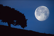 Moonset in pre-dawn light next to lone oak tree in the Briones Region, Contra Costa County, California