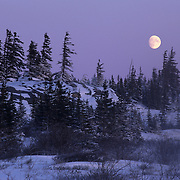 Black Spruce and moonrise near Churchill, Manitoba, Canada.