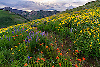 Summer wildflower bloom in Albion Basin in Utah's Little Cottonwood Canyon at sunset. Walking through the flowers provides endless landscape photography opportunities.