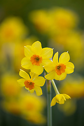 Narcissus 'Falconet' AGM