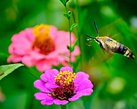 Snowberry Clearwing Moth in Flight above a Zinnia Flower. Image taken with a Fuji X-T2 camera and 100-400 mm OIS lens