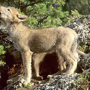 Gray Wolf, (Canis lupus) Portrait of pup, howling. Summer.   Captive Animal.