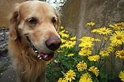 Golden Retriever Lemmy mit gelben Blumen als Hippie Hund. Der Golden Retriever ist ein intelligenter, freudig arbeitender Hund, dem auch extreme, nasskalte Witterungsbedingungen nichts ausmachen. Dem steht allerdings eine relativ starke Empfindlichkeit hinsichtlich hoher Temperaturen gegenüber. Grundsätzlich ist die Rasse ruhig, geduldig, aufmerksam und niemals aggressiv.<br /> <br /> Golden Retriever Lemmy surrounded with yellow flowers as a Hippie dog.