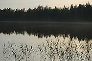 Common reed, Phragmites australis, Kuhmo, Finland