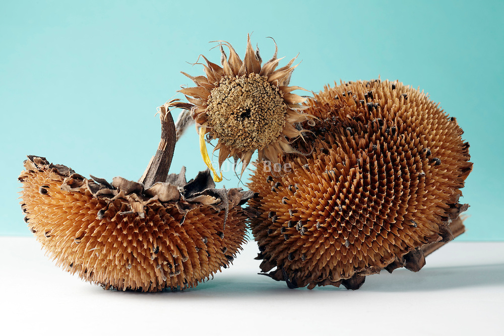 ripe sunflower heads with some seeds left and a small not fully grown sunflower
