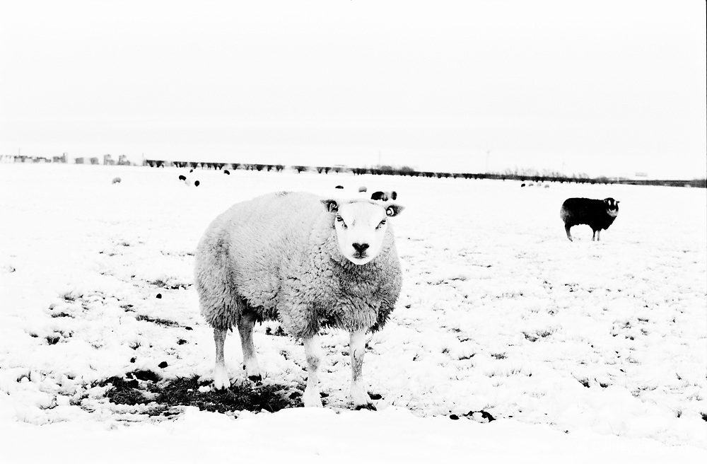 Schaap in winterlandschap overijssel, Nederland