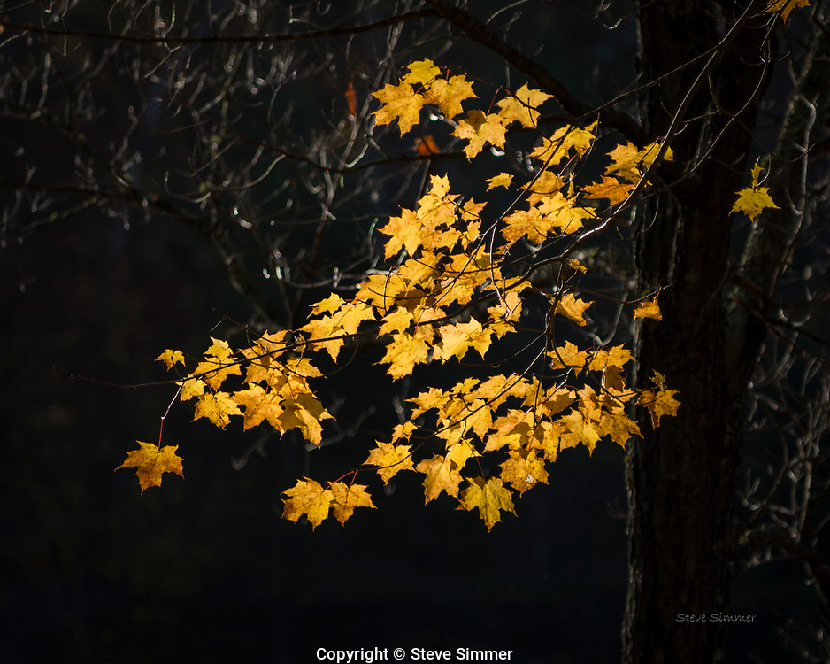 A solitary branch of colorful leaves hangs against a dark background, backlit by the rising sun.