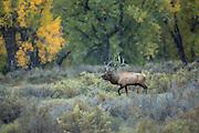 Bull elk during the rut in Montana